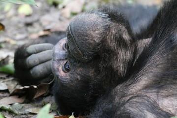 głowa zamyslonego szympansa z bliska