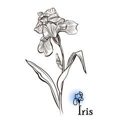 Iris flower  in the style of engraving.  Ink, pencil, black and white iris flower sketch. Vector Isolated illustration.