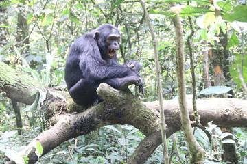 samotny goryl siedzący wśród drzew w dźungli