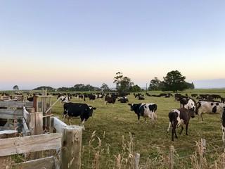 Rinder, Neuseeland