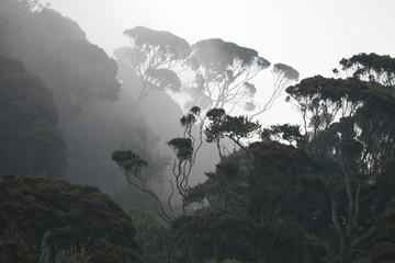 duże drzewa na zboczu lasu deszczowego we mgle o poranku