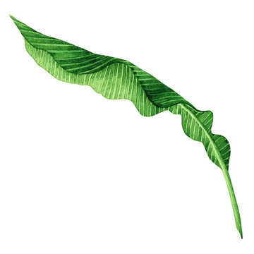 Watercolor painting green leaves isolated on white background.Watercolor hand painted illustration palm,banana leave tropical exotic leaf for wallpaper vintage Hawaii style pattern.With clipping path