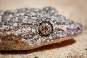 wilder kleiner Gecko sitzt auf Sand in Südamerika