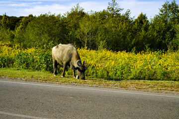 Buffalo along the road there is grass. Abkhazia October 2018
