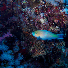 Parrotfish swimming near colorful coral reef in red sea