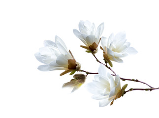 Photo sur Plexiglas Magnolia Branch of white Japanese magnolia kobus isolated on white background