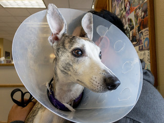 Whippet dog with cone