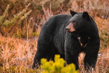American black bear standing in grass