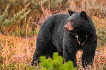 Close up of black bear standing on grassy landscape