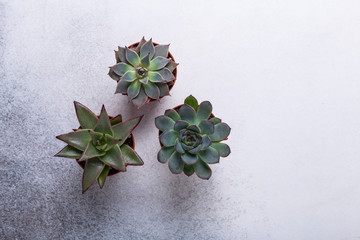 Succulents on a gray stone table Copy space Top view