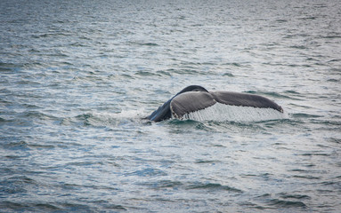 Humpback Whale tail diving with a fjord on the background. Megaptera novaeangliae