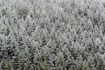 High angle view of snow covered pine trees in forest
