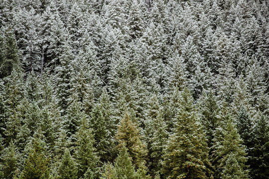 High angle view of snow covered pine trees in woodland