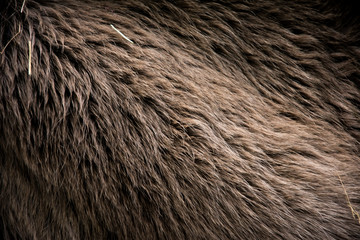 Brown horse winter fur