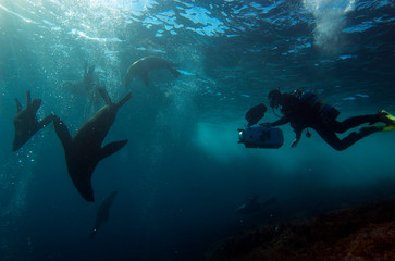 Sea lions underwater with photographer
