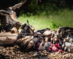 Vultures Feed