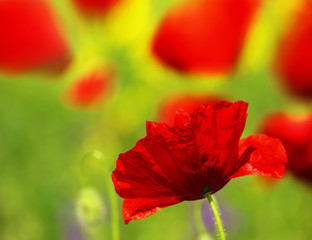 Wall Mural - Field of poppies