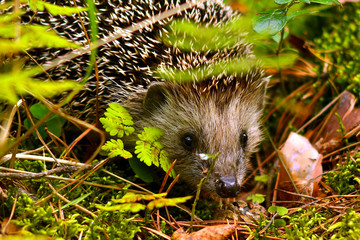 A small hedgehog (lat. Erinaceus europaeus) looks out from under the grass in a pine forest.