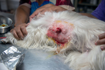 veterinarian sterilization operation on dog, surgeons vets. the operation of urgical tumor, Cancer in dogs; veterinary clinic