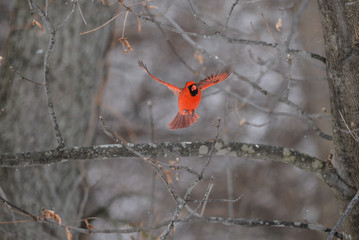 Red Cardinal in the woods in winter male/female perched and flying