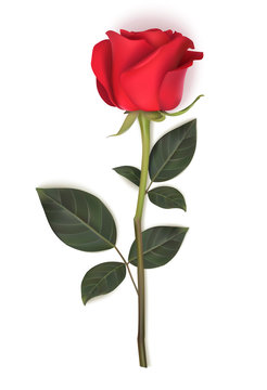 Single red rose with long stem and green leaves isolated on white background. Vector illustration. Spring flower for holiday decoration