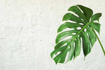 Green Leaf of Monstera Plant with Rough Surface White Plaster Wall Background