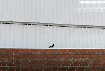Pigeon sitting on a brick wall