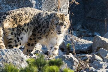 Wall Mural - Snow leopard walking around in rocky terrain