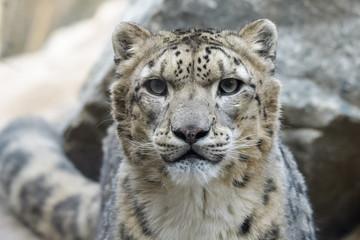 Wall Mural - Closeup portrait of a snow leopard