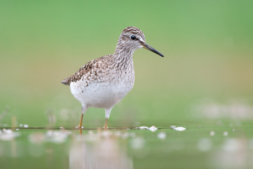 Wood sandpiper stands in water on green background