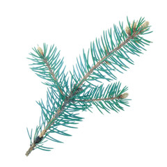 branch of blue fir isolated on white background