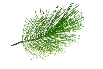 branch of cedar isolated on white background