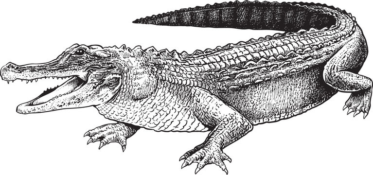 A sketch of a crocodile