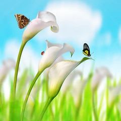 White calla lilies with butterflies and ladybug.Spring season.