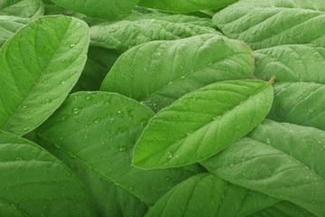 heap of fresh guava leaves background