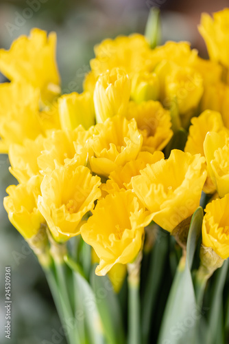 Bouquets Of Yellow Daffodils Spring Flowers From Dutch Gardener