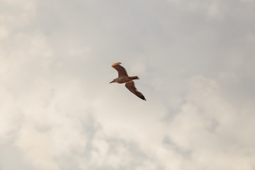 The seagull is flying in the sky