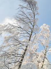 Beautiful branches of birch trees covered with snow against blue sky on a clear winter day.