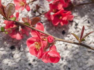 Beautiful sunlit flowering pink Quince blossoms in the Springtime.