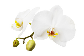 Deurstickers Orchidee Branch of a blooming white orchid having a yellow color on the lip. Flowers isolated