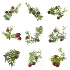 set of branches with red juniper berries isolated on white background