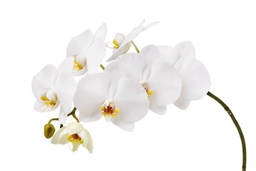 Spoed Foto op Canvas Orchidee An isolated branch of a beautiful white orchid having a yellow color at the lower petals