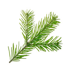 branch of silver fir isolated on white background