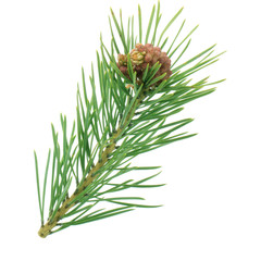 branch of pine isolated with young cone on white background