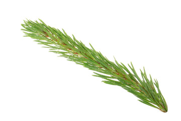 branch of pine isolated on white background