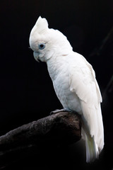 A sad big white parrot on a black background sits on a stick in a cacky