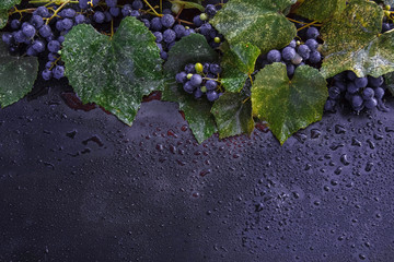 juicy, ripe, sweet Isabella grapes with bunches and branches with leaves and drops of water on a dark background with a blank space Fototapete