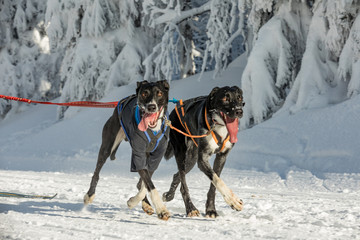 A team of four husky sled dogs running on a snowy wilderness road. Sledding with husky dogs in winter czech countryside. Group of hounds of dogs in a team in winter landscape.