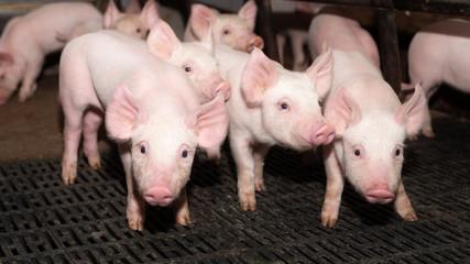 drei süße Ferkel im Schweinestall