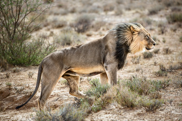 Wall Mural - Male lion walking highly focused across the kgalagadi desert directly into the wind. Panthera leo